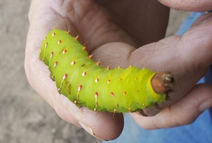 Luna moth found on pecan.jpg