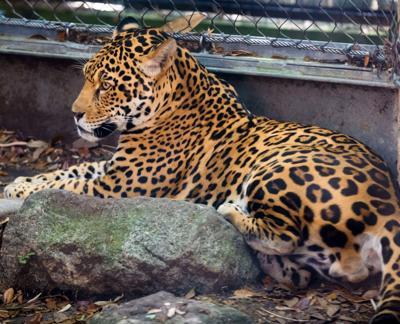 jaguar cub manual