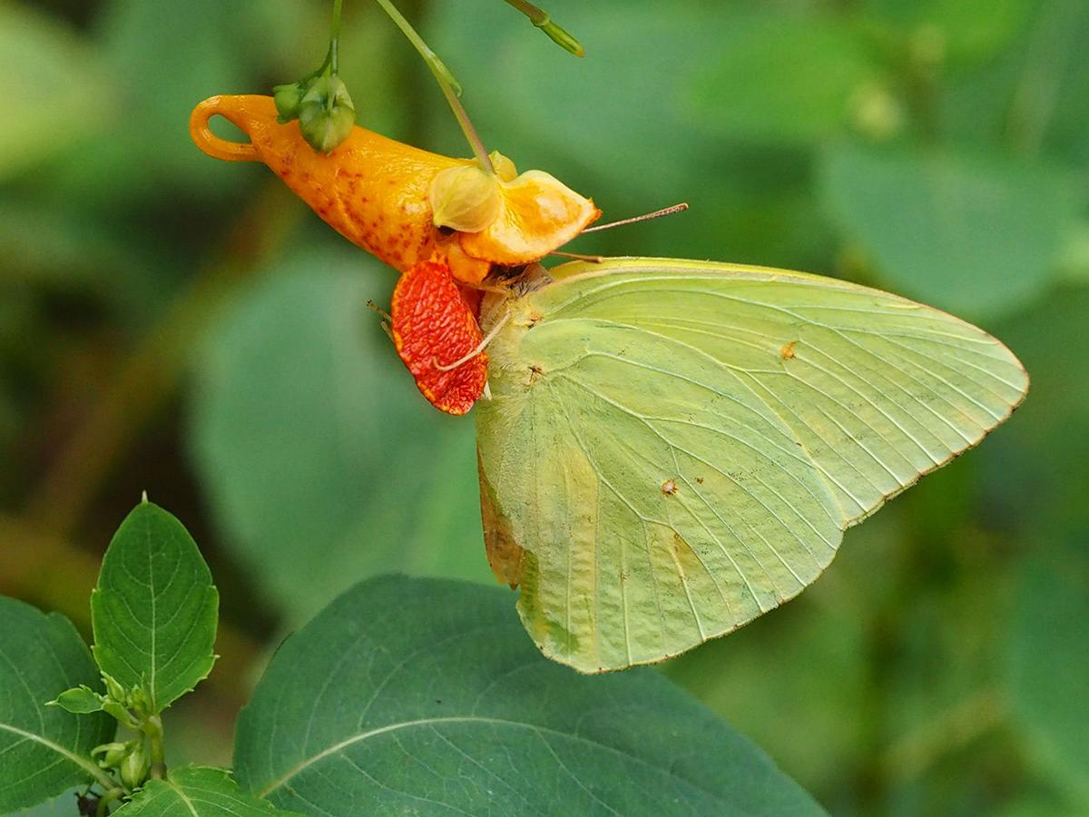 Cloudless Sulfur butterfly.jpg