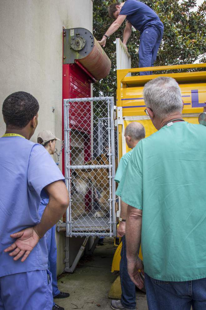Mike the Tiger returns to his habitat, one day after cancer treatment _lowres