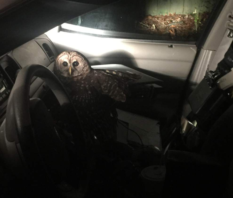 Video: Owl flies into Covington police officer's car, causing crash in ditch early Thursday morning _lowres