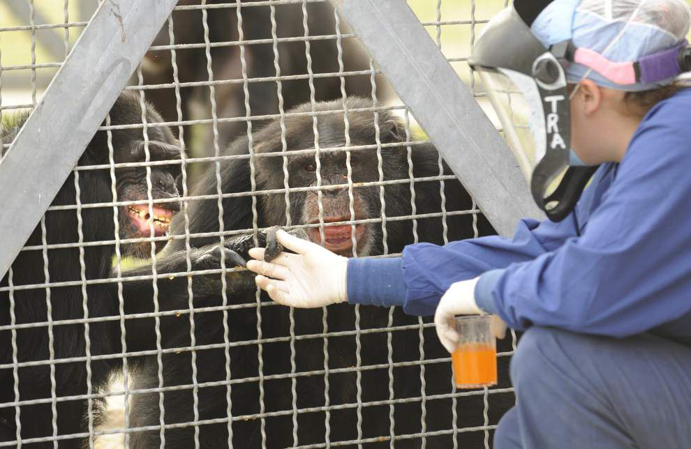 New Iberia tests Ebola vaccine on chimpanzees _lowres