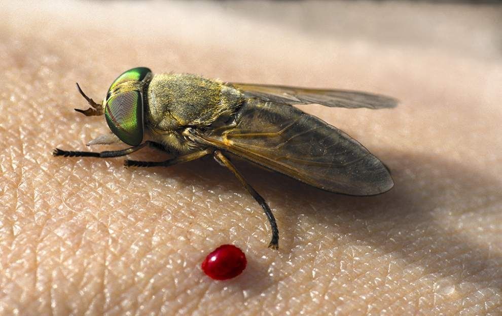 Greenhead horsefly could be key to determining the health of the state's coastal marshes _lowres