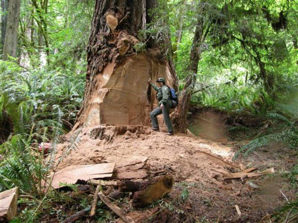 Redwood park closes road to deter redwood poachers _lowres