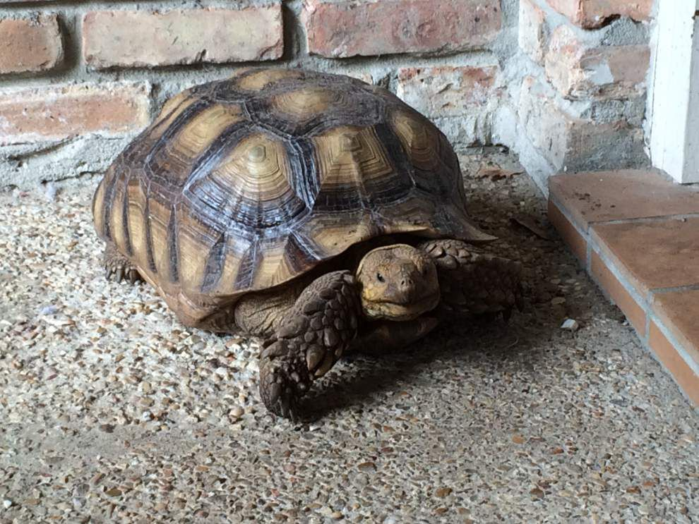 Found! Neighbor kept Terry the tortoise safe, unaware of the search on social media _lowres
