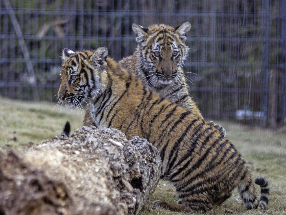 Final report out on tiger's death at Baton Rouge Zoo; gastric dilation suspected _lowres
