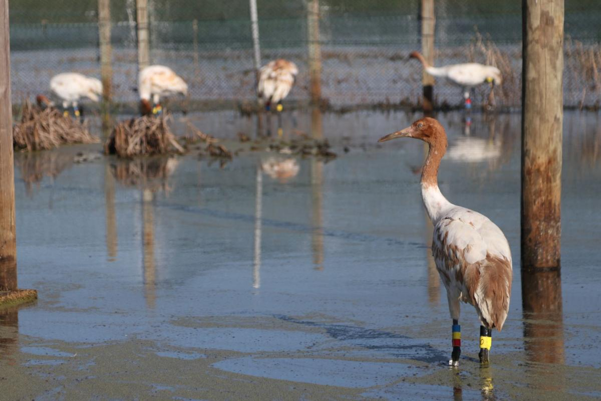 Whooping crane photo for Sunday, Nov. 19, 2017