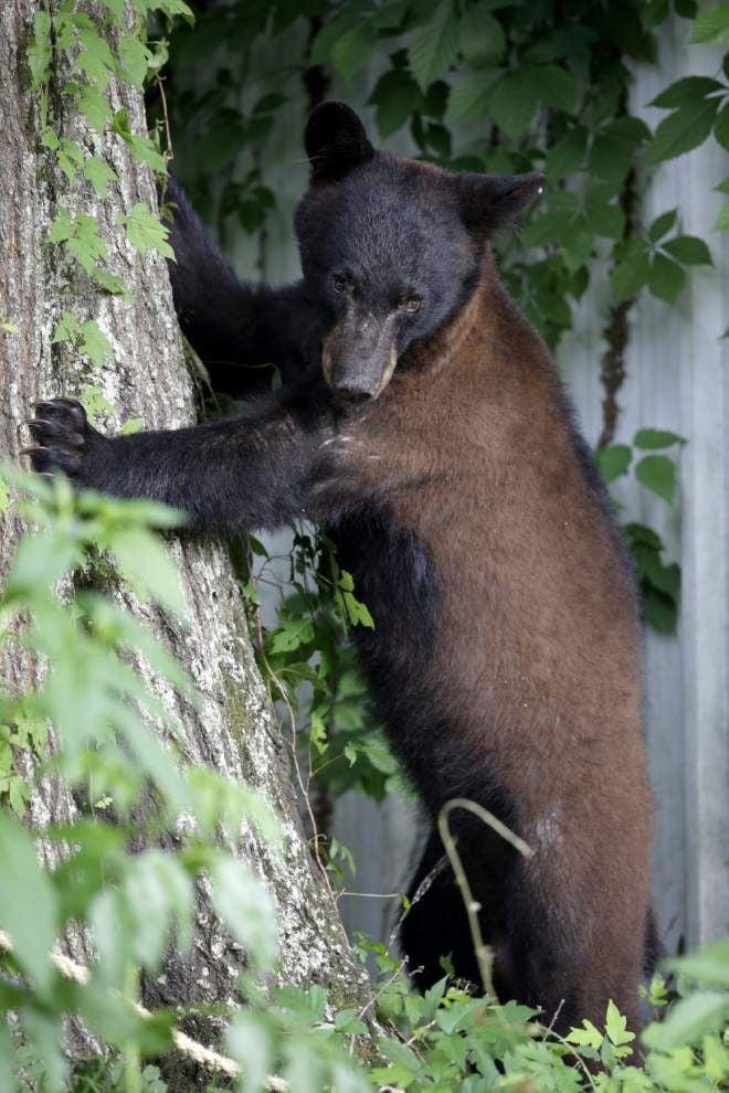 Louisiana black bear on path to leave threatened list _lowres