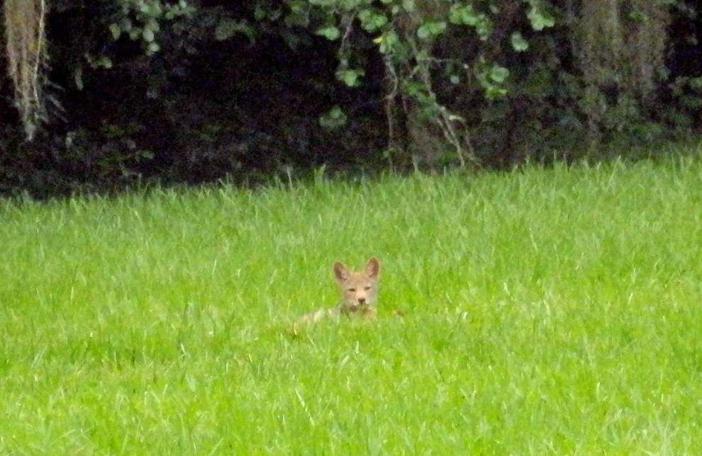 'In the middle of the night, it sounds like hundreds' of coyotes, resident says of growing problem in Baton Rouge neighborhood _lowres (copy)