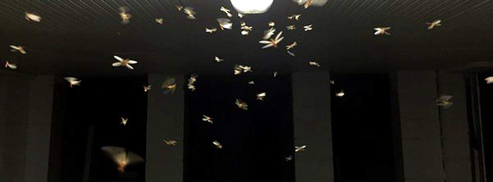Termites start swarming in New Orleans area; Baton Rouge could be plagued soon _lowres