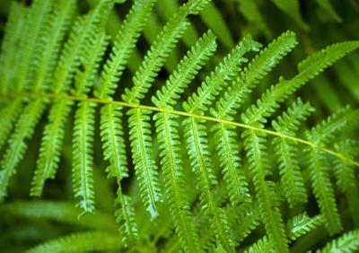 ferns.jpg (copy)