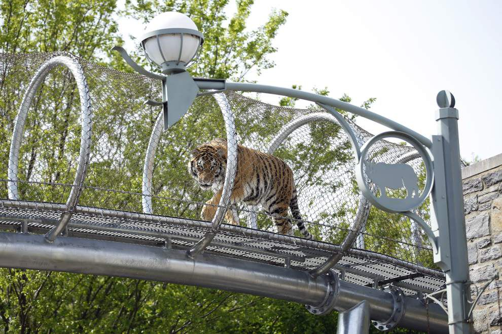Philadelphia Zoo lets tigers stretch legs on trail _lowres