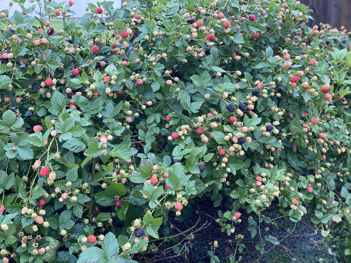 Abundance of blackberries..jpg