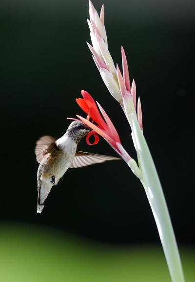 hummingbirds (copy)