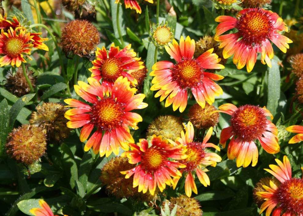 Garden News: Mesa gaillardia named La. Super Plant _lowres