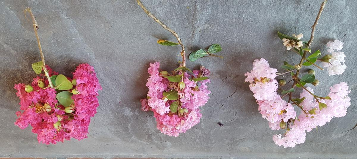 Pink Crepe Myrtles.jpg