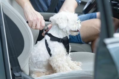 Dog in Seatbelt Harness
