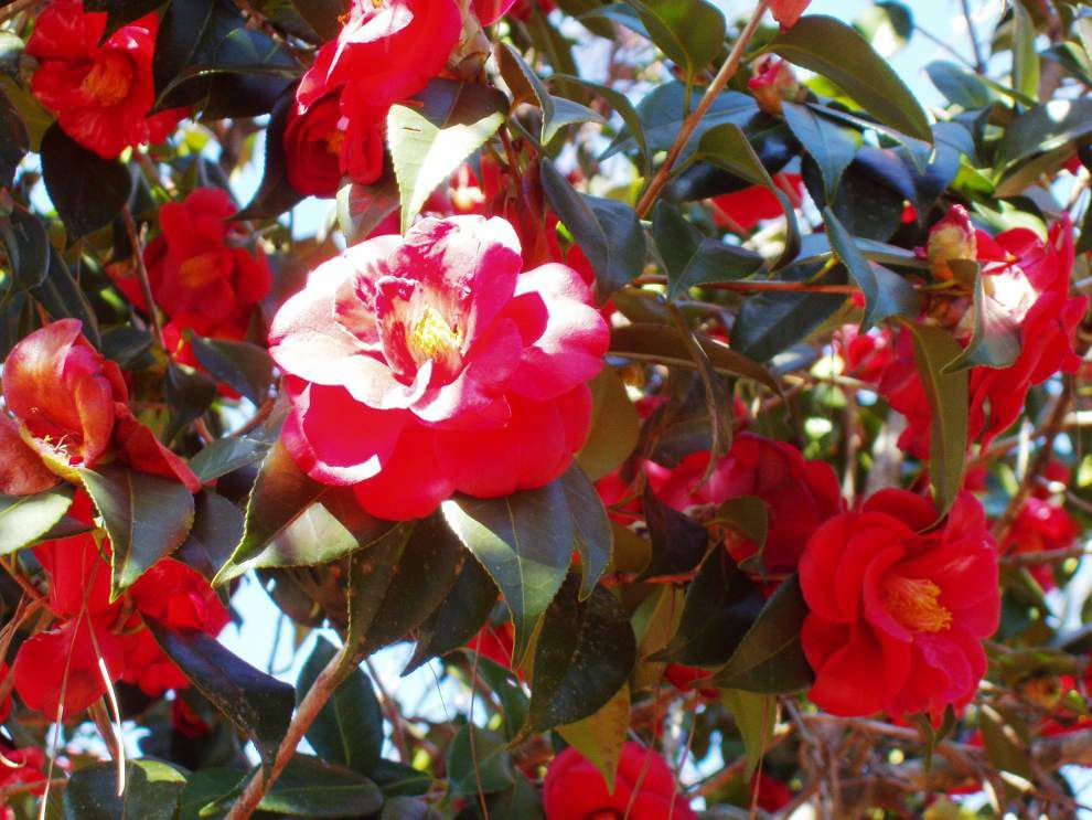 LSU AgCenter hosts Camellia Stroll and Sale event _lowres