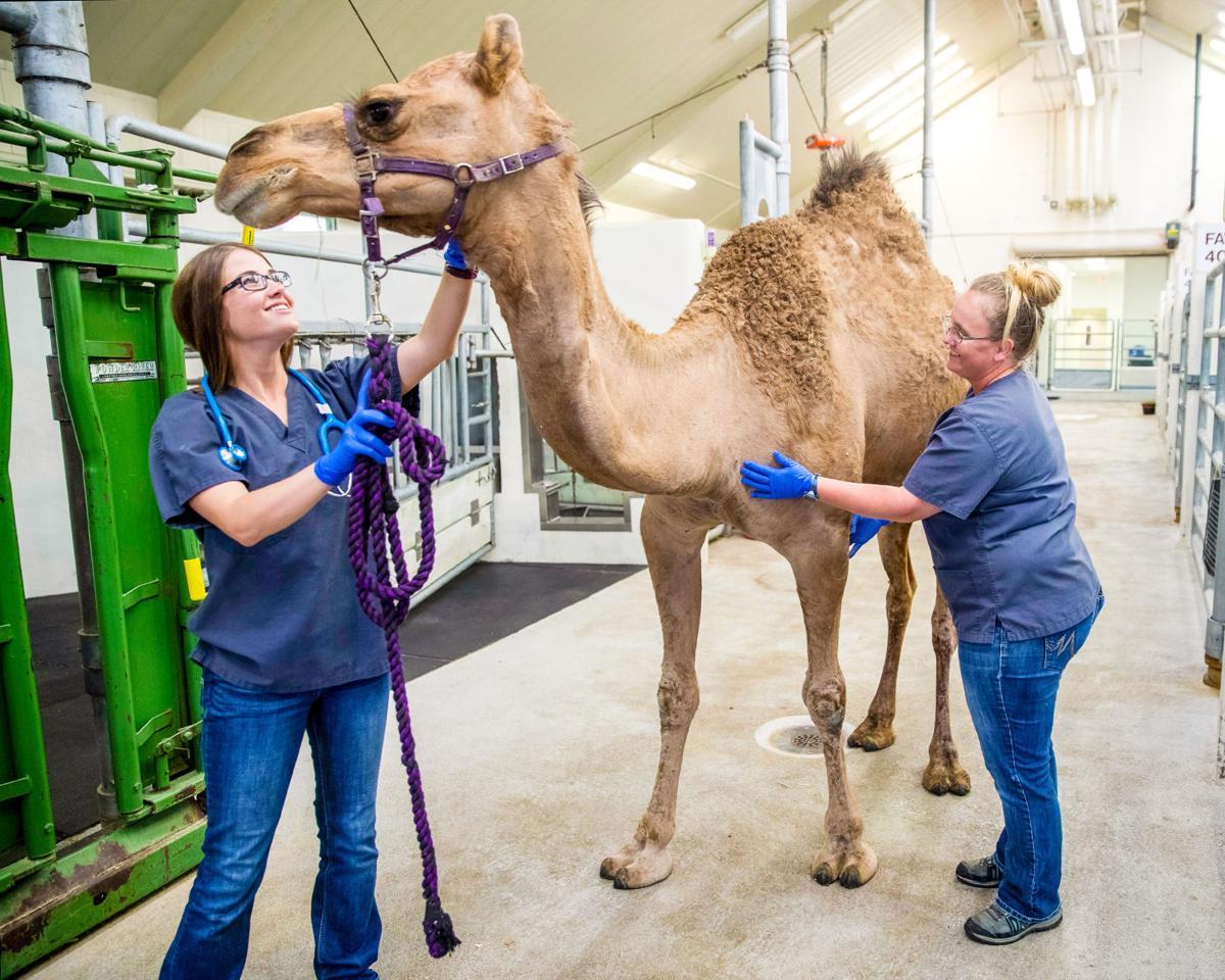 Camel surgery