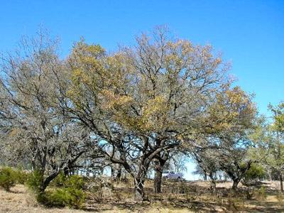 Oak Wilt Disease