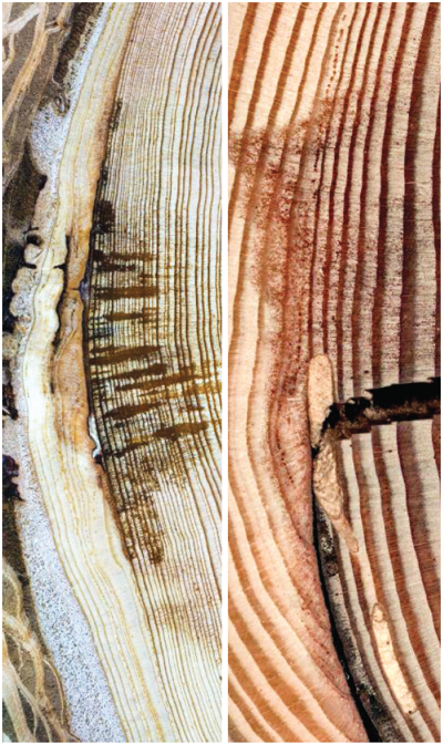 Climate Change Wildfires tree rings