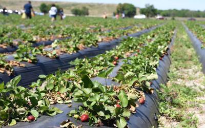 FILE - Florida strawberry farm