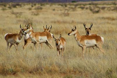 A,Small,Herd,Of,Pronghorns,Just,West,Of,Alpine,In