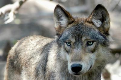 FILE - Gray Wolf