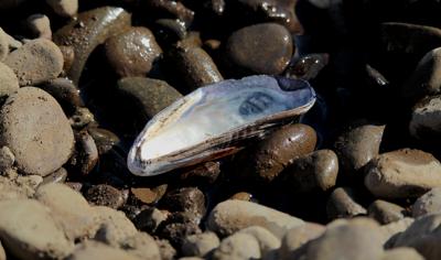 FILE — Washington oyster