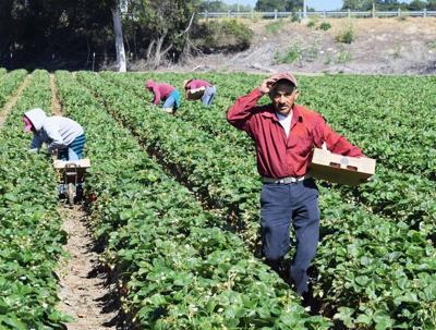FILE - Strawberry farm