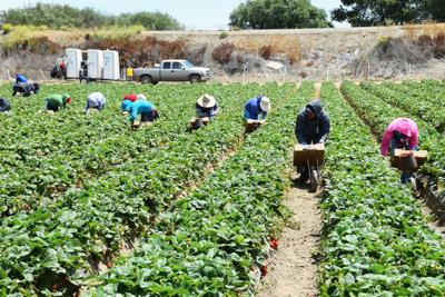 FILE -  California strawberry field workers