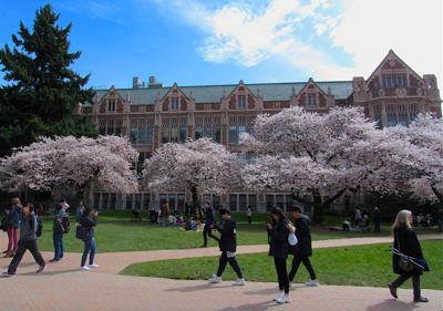 FILE —University of Washington cherry blossoms