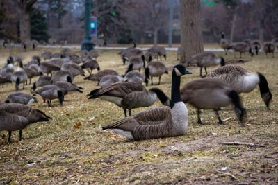 FILE - Canadian Geese