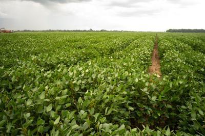 FILE - Georgia soybean farm