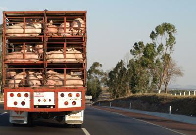 FILE - Pork, pigs