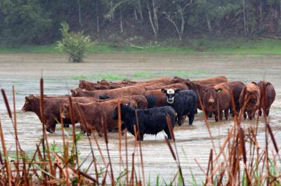 FILE - cows, cattle, farm, livestock, rain, cloud, flood