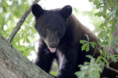 FILE —Black Bear