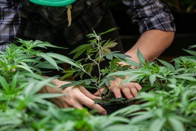 FILE - Marijuana plant