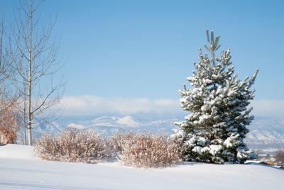 FILE - Spruce Tree