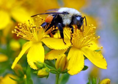 FILE - ME Bee, bumblebee 7-8-2015
