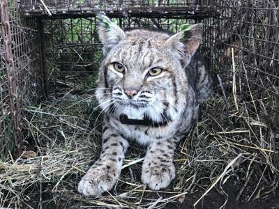 FILE - bobcat