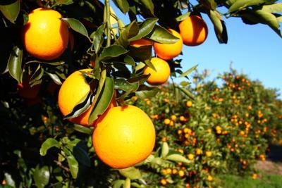 FILE Florida orange tree oranges