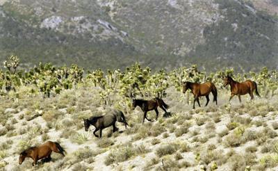FILE - Wild Horse Roundup Nevada