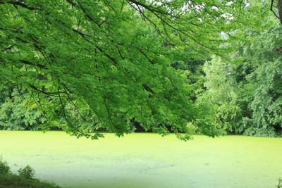FILE - algae bloom