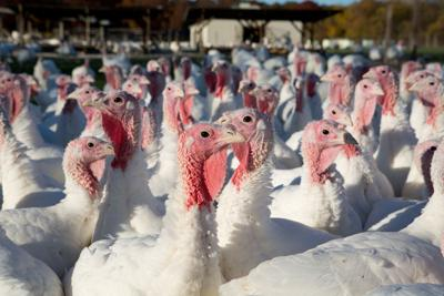 FILE - Turkey farms