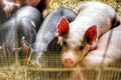 FILE - PA Pigs 2018