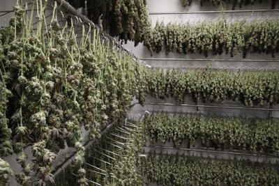 FILE - Cannabis, Marijuana, Illinois