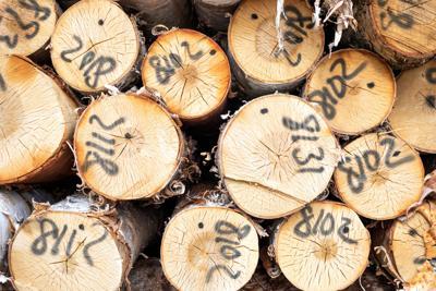 Maine birch logs