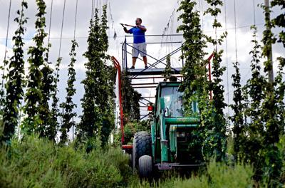 FILE - AP hops farm, farming, farmer 9-2-2016