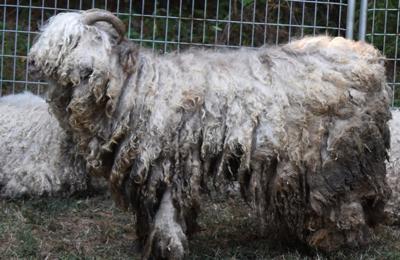 67 goats seized from Bumpass property